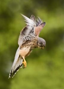 https://500px.com/photo/1038782/kestrel-by-tony-flashman